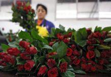 Nuevos aranceles pueden complicar a los floricultores en Ecuador