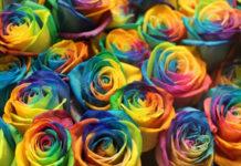rosas genéticas