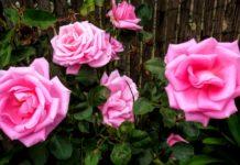 rosas rosada ecuador